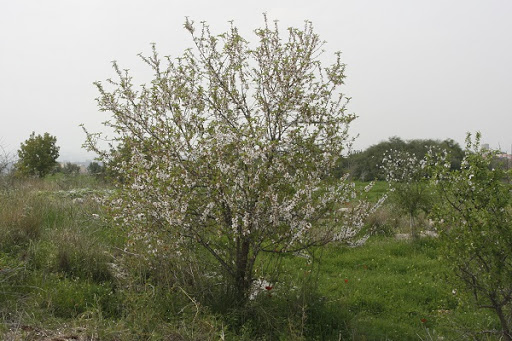 almond-tree-blossoming